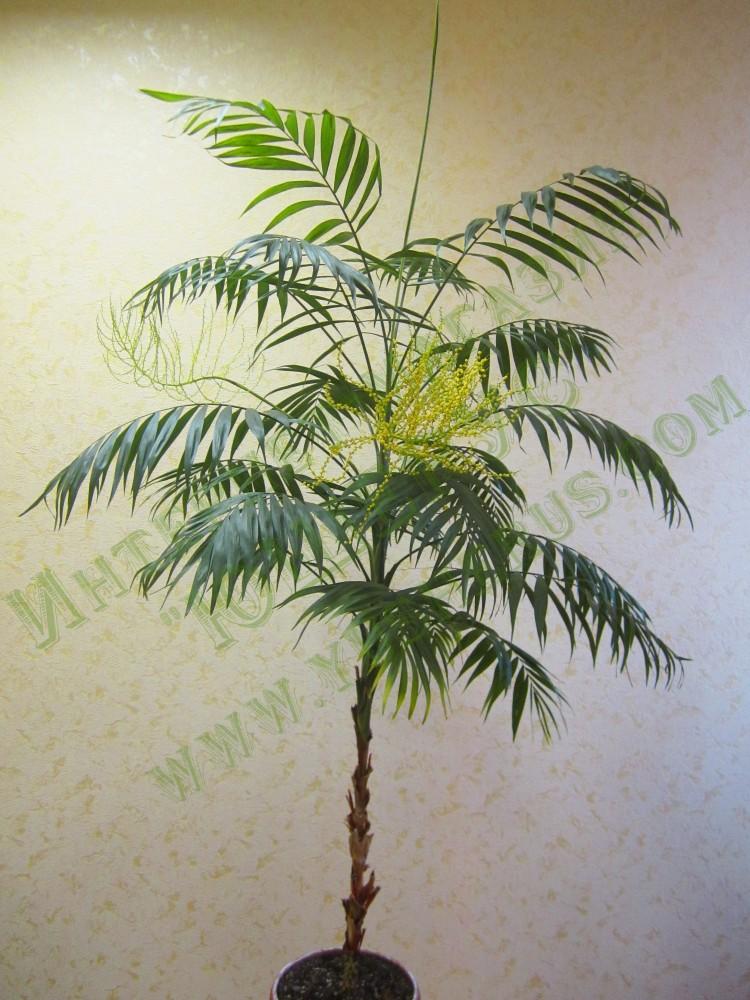 Бамбуковая пальма уход в домашних условиях фото 961